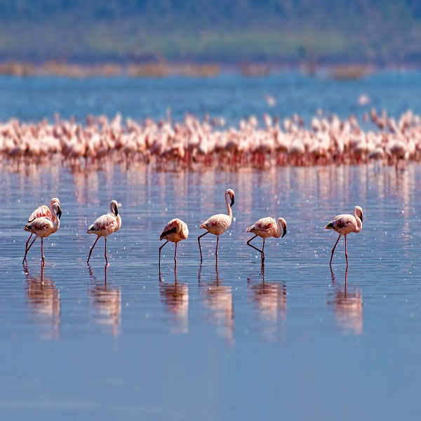 Flock of flamingos wading in the shallow lagoon water