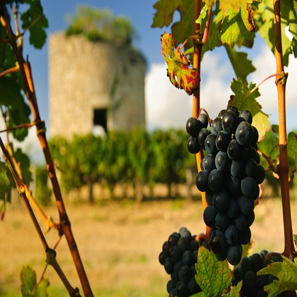 Grapes and ruined medieval tower in vineyard in region Medoc, France