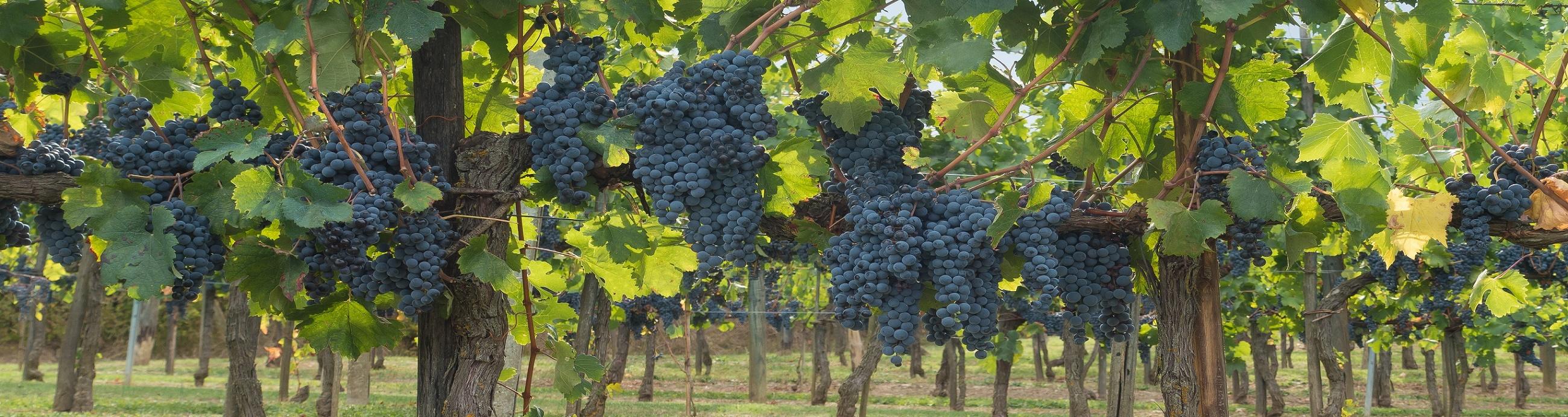 Bandeau tour de vin